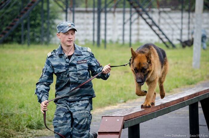 тренировка служебной собаки