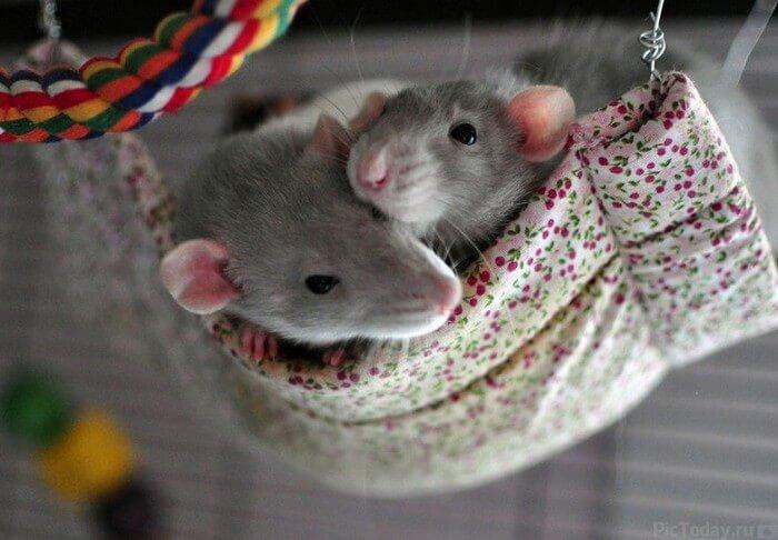 две домашние крысы