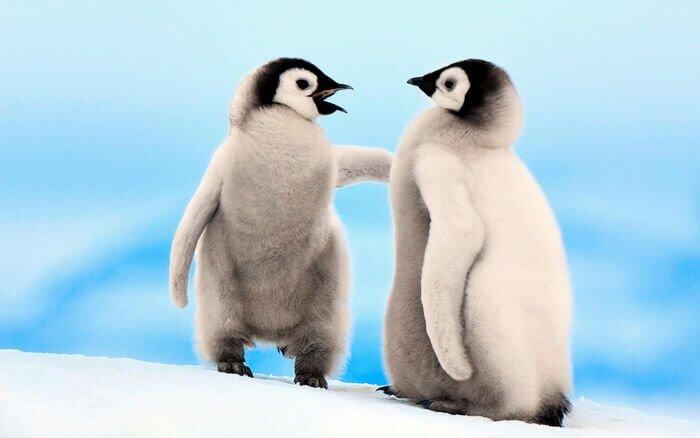 детеныши пингвинов