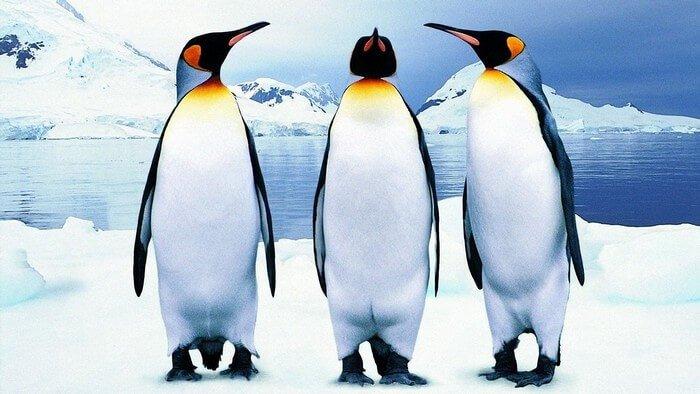 Картинки по запросу Всемирный день пингвинов (World Penguin Day)