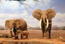 слоны в африке