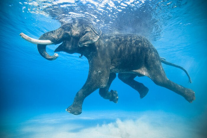 плавающий слон